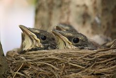 Nestlings Royalty Free Stock Image