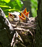 Nestlings Stock Photos