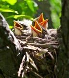 Nestlings Стоковые Фото