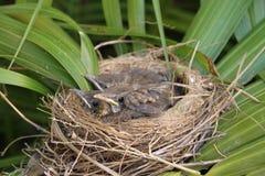nestlings Imagem de Stock Royalty Free