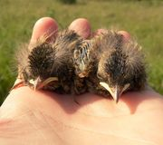 Nestlings Royalty Free Stock Photos