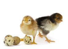 Nestlings chicken and quail eggs Royalty Free Stock Photos