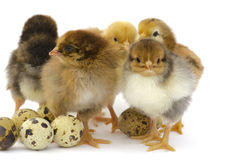 Nestlings chickens and quail eggs Royalty Free Stock Photography