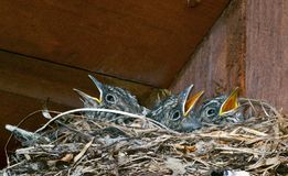 Nestlings  (Empidonax wrightii) Stock Photo