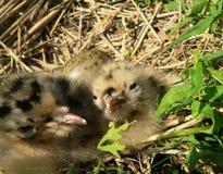 Nestlings of gull Stock Photography