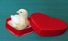Nestlings little yellow chick in a red gift box in heart shape Stock Photo
