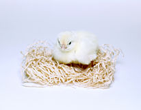 Nestlings little yellow chicks. Nestlings little yellow chick sitting on straw Royalty Free Stock Photography