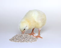 Nestlings little yellow chicks. Eats combined feed Stock Photos