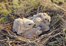 Nestlings Long legged Buzzard Royalty Free Stock Photography