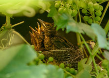 Nestlings with open beaks sit in the nest. Common blackbird, Turdus merula. Animalistic. A photo of wild animals in a natural habitat, photohunting stock images