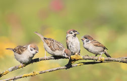 Nestlings, and the parent of a Sparrow sitting on a branch little beaks Agape Stock Photos