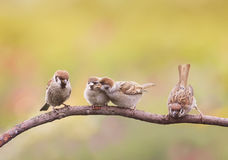 Nestlings, and the parent of a Sparrow sitting on a branch little beaks Agape. Small nestlings, and the parent of a Sparrow sitting on a branch little beaks stock photo