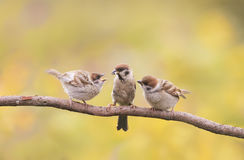 Nestlings, and the parent of a Sparrow sitting on a branch little beaks Agape. Small nestlings, and the parent of a Sparrow sitting on a branch little beaks Royalty Free Stock Photography