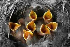 Nestlings in presa Immagine Stock Libera da Diritti