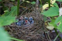 The nestlings. The tiny Chicks in the nest, hidden in the nettles Stock Photo