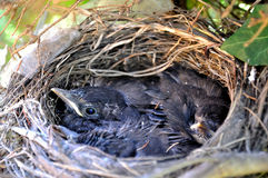 The nestlings in a tree nest. The nestlings in a tree nest, spring stock photography