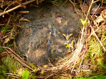 Nestlings of tree pipit Stock Images
