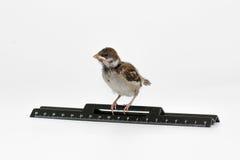 Nestlingsspatz mit einem Machthaber untersucht den Abstand, Isolat Stockbild