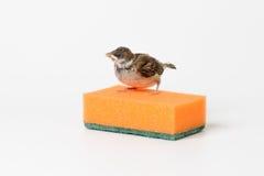 Nestlingsspatz mit einem Schwamm für waschende Teller, lokalisiert auf w Stockbilder