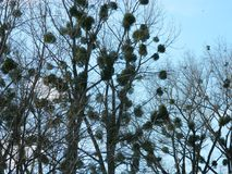 Nests. Bird nests on a trees Royalty Free Stock Images