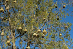 Nests of the Cape weaver birds. Hanging in a tree, South Africa Stock Photography