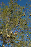Nests of the Cape weaver birds Stock Photos