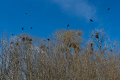Nests of crows or rooks in grove Royalty Free Stock Image
