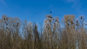 Nests of crows or rooks in grove Stock Image