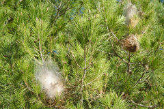 Nests of pine processionary moth on a branch Stock Photos