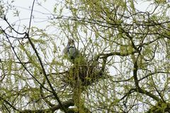 Gray heron in a nest. royalty free stock photo