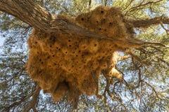 Nests of sociable weaver Stock Image