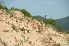 The nests of swallows in sand quarry Stock Photo