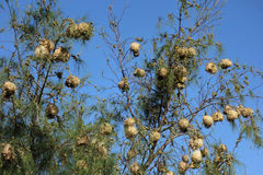 Nests of village weaver. In a tree. Photo taken in west africa Royalty Free Stock Images