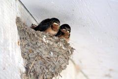 Nestvogel stock afbeelding