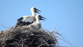 Nestvogel des weißen Storchs stock video