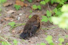 Nestvogel van het starling royalty-vrije stock foto's