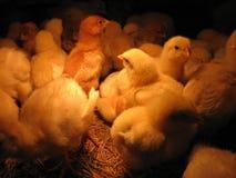 Nestvogels - kip stock fotografie
