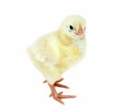 Nestvogels kleine gele kuikens Royalty-vrije Stock Afbeelding