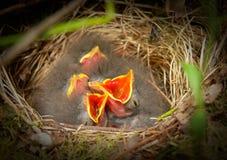 Nestvogels van een boom pipit royalty-vrije stock afbeelding
