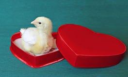 Nestvogels weinig geel kuiken in een rode giftdoos in hartvorm stock foto