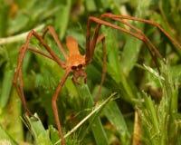 Net-casting Spider. ( Deinopis subrufa ) walking on the grass Stock Photo