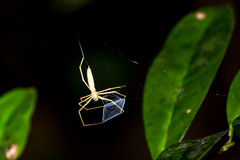 Net-casting spider Stock Photography