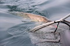 Net Catching a big pike (esox lucius) Royalty Free Stock Photo
