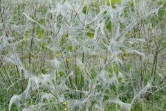 Ermine Moth,Yponomeutidae,North rhine westphalia,Germany. Net of Ermine Moth,Yponomeutidae on Bush,North rhine westphalia,Germany stock images