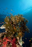 Net fire coral and fish in the Red Sea. Royalty Free Stock Photography