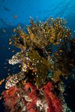 Net fire coral and fish in the Red Sea. Stock Image