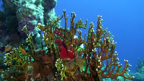 Net Fire Coral Millepora dichotoma , Glare of sunlight on colorful corals near the water surface. stock video footage