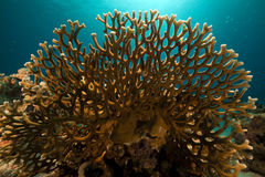 Net fire coral in the Red Sea. Stock Photography