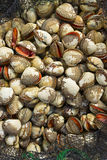 Net with fresh catch of shells Stock Photos