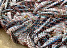 Net is full of fish. Nice catch! Royalty Free Stock Photo